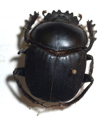 dictionary scarab