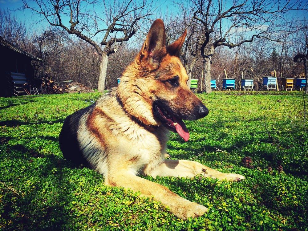 adopting a failed guide dog nz