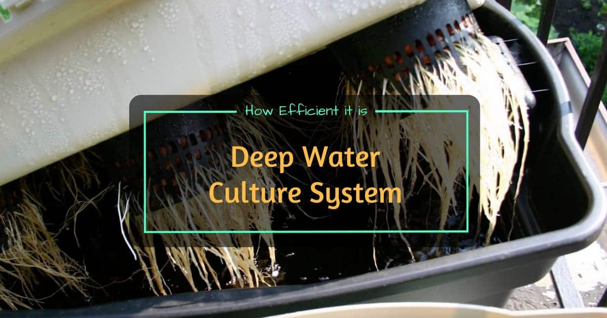 deep water culture guide